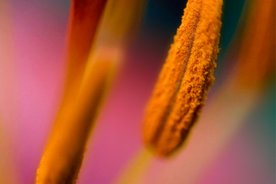 macro of lily stamens